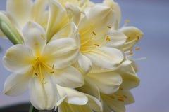 Clivia黄色 免版税库存图片