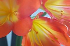 clivia Стоковое Изображение RF