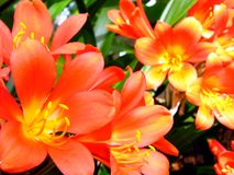Clivia. Macro photo of beautiful orange clivea flowers Royalty Free Stock Images