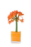 Clivia Royalty Free Stock Photo