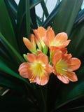 Clivia arancio Immagini Stock Libere da Diritti