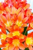 Clivia blommablom Royaltyfria Bilder