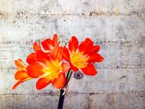 Clivia. Blooming against a cement wall at UCSD Geisel Library Royalty Free Stock Photography