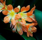 Clivia Or Bush Lily In Bloom Stock Image