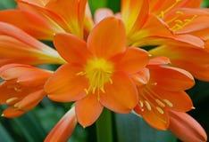 Clivia (Clivia-miniata) Lizenzfreie Stockfotos
