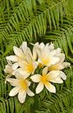 Clivia (Clivia miniata) Royalty Free Stock Image