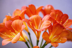 Clivia, closeup of the flowers Royalty Free Stock Images