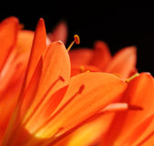 Clivia flowers Stock Photography