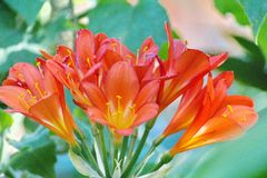 Clivia flowers in Cape Town stock photo