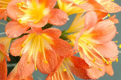 Clivia flowers  closeup. Clivia flowers closeup with water drops against gray background Royalty Free Stock Photos