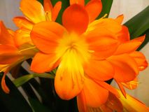 Clivia is a genus of perennial evergreen herbaceous stock images