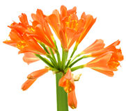 clivia kwiatu kaffir lelui miniata wiosna Zdjęcia Stock