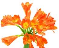 clivia kwiatu kaffir lelui miniata wiosna Obraz Stock