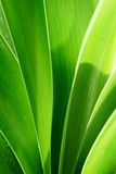 Clivia leaves. Under the sun shine Royalty Free Stock Images