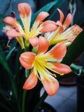 Clivia lilja arkivfoto