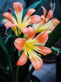 Clivia lily stock photo