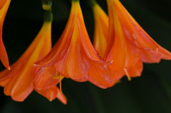 Clivia Lily orange Image libre de droits