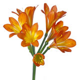 Clivia minata Stock Photos