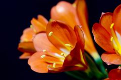 Clivia miniata. A fully bloomed flower called clivia miniata Royalty Free Stock Image