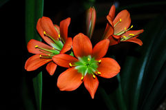 Clivia Miniata Royalty Free Stock Photos