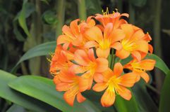 Free Clivia Miniata Stock Photography - 30274722
