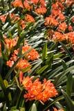 Clivia-miniata Blumen Lizenzfreie Stockfotografie