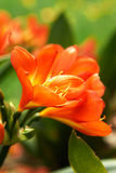 Clivia Miniata (bush lily) yellow orange flowers. Stock Photos