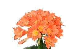 Clivia miniata in full bloom Stock Image