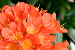 Clivia miniata in full bloom Stock Images