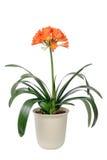 Clivia miniata in full bloom Royalty Free Stock Photo