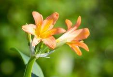 Clivia miniata kwiaty Obrazy Stock