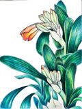 Clivia mirrored markers drawings. 1/3 triptych Royalty Free Stock Image