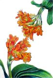 Clivia mirrored. 3 markers drawings 3/3 triptych Royalty Free Stock Photo