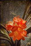 Clivia old card Royalty Free Stock Photos