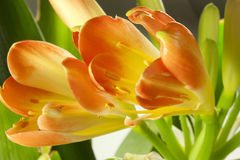Clivia. Orange bud clivia just blossomed Royalty Free Stock Photos