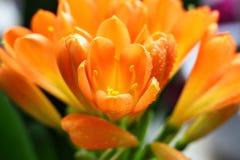 Clivia rośliien kwiat zamknięty w górę fotografii zdjęcie stock