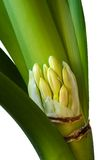 Clivia Royalty Free Stock Photos