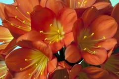 Clivia of St Joseph Plant zijn een soort van de gele narcisfamilie stock afbeeldingen