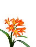 Clivia on White Stock Photos
