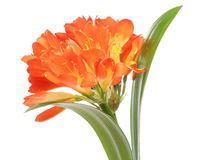 Clivia in a white background Stock Images