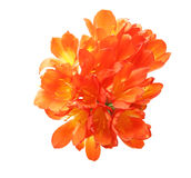 Clivia in a white background Royalty Free Stock Photography