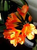 Cliviafärgen i solljus royaltyfri fotografi