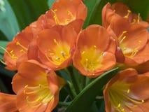 Clivias dell'inflorescenza immagine stock