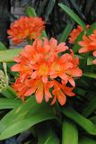 Clivias. Orange Clivias close up Stock Photos