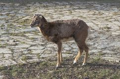 Cllose up female European mouflon Ovis orientalis musimon stan royalty free stock photo