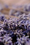 Close up shot of frozen lavender flowers. After first frost during winter royalty free stock photo