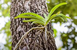 Wild orchid on tree Royalty Free Stock Photography