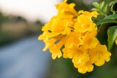 Cloche jaune, aîné jaune, feuille de bouquet d'arbre de Bush de trompette Image stock
