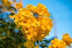 Cloche jaune, aîné jaune, feuille de bouquet d'arbre de Bush de trompette Images stock