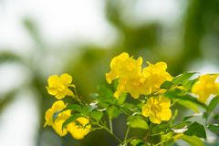 Cloche jaune de stans de Tecoma, aîné jaune, Trumpetbush, Trumpetflo Image libre de droits